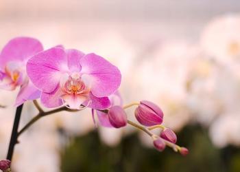 """""""Dani orhideja"""" u Radoboju1"""