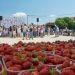 10. Festival jagoda u Selcu