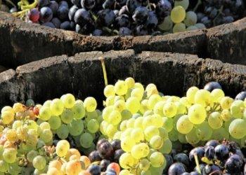 Dani grožđa u Bujama1
